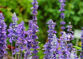Szałwia i rozmaryn – zioła dla alergika